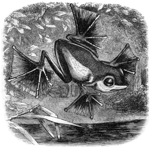 Illustration from The Malay Archipelago (1869), depicting the flying frog Rhacophorus nigropalmatus discovered by Alfred Russel Wallace (1823-1913), the British naturalist, explorer, anthropologist, biologist, and geographer.