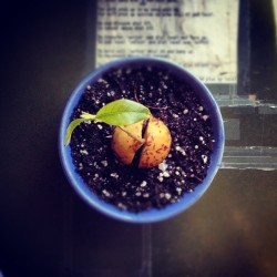 My baby avocado plant.