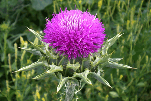"westernherbalism:  Milk ThistleSilybum marianum——————————————From Mountain Rose Herbs..Milk Thistle Seed and Powder ProfileAlso known asSilybum marianum, Holy Thistle, Variegated Thistle, Lady's Thistle.IntroductionMilk thistle is a member of the sunflower family native to a narrow area of the Mediterranean, but grown for centuries throughout Europe and and now a common weed in California. Milk thistle was probably brought to North America as a coffee substitute, but its shiny black seeds covered with feathery tufts have a far longer history in herbal medicine. The edible thistles were given the name silybum by Dioscorides, a Greek physician who served in the Roman Army over 1,900 years ago. The thistle with white mottling on its leaves became known as the ""milk"" thistle. This herb served as a therapy for conditions we would now recognize as ascites, congestive heart failure, various kidney diseases, and hepatitis. In Catholic Germany, its usefulness was said to be second only to calling on Mother Mary, and the white mottling on the leaf said to be the touch of the Virgin Mary's milk, hence the species name ""marianum."" In the twentieth century, German physicians and pharmacologists found that milk thistle could treat certain mushroom poisoning, fatty liver due to alcoholism, cirrhosis, and hepatitis B and C. Much of the research involved a proprietary formula developed by the German natural products maker Madaus, but the authoritative Complete German Commission E Monographs also recognized the usefulness of the whole herb.ConstituentsSilymarin (silibinin, silydianin, and silychristin), vitamin E (tocopherols), and about 90% fatty acids.Parts UsedThe threshed, dried seed.Typical PreparationsWhole seeds or seed powder, encapsulated or used to make an infusion. The most convenient form has been either an alcohol or glycerin extract.SummaryThere is a tendency among herbalists to think of milk thistle seed and silymarin as synonymous. For instance, The Expanded German Commission E Monographs notes the historical uses of the whole herb for treating ""Congestion of the liver, spleen, and kidneys"" and in the very next paragraph states, ""Milk thistle is an example of a preparation that is required to be in the standardized, concentrated form in order to fully convey the desired, in this case, hepatoprotectant, effects."" This isn't necessarily so. There's no doubt that silymarin extract delivers more silymarin than the same amount of milk thistle. This is because only about 10% of the silymarin in the seed can be absorbed by the digestive tract, and the seed is only up to 3% silymarin. However, since the customary dose of the whole herb is 12 to 15 grams (up to 3% silymarin) and the customary daily dose of silymarin extract amounts to 200 to 400 milligrams of silymarin, you actually get an effective dose of silymarin by taking whole milk thistle seed three times a day. There are other reasons to use the milk thistle seed (whole or ground) rather than silymarin extract. Even when an herb is used to treat a serious health condition, the whole herb often has a more balanced effect. The milk thistle extract silymarin, for instance, has proven usefulness in treating liver disease. The drawback to using silymarin is that, if the doctor prescribes other drugs, such as steroids, silymarin can interfere with the liver's ability to detoxify them. Milk thistle seed has the same healing effect on the liver without interfering with the organ's ability to detoxify drugs or environmental chemicals, and a side benefit of normalizing blood lipids as the liver heals.PrecautionsLike silymarin extract, milk thistle seed can cause mild diarrhea by stimulating the release of bile. This effect is most notable if there is a high-fat diet.——————————————Image Source"