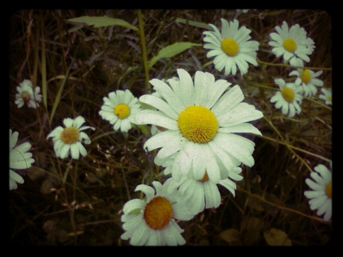 Even daisies grow in the harshest areas. They still stand tall and radiate with vitality and beauty. #SELF-ESTEEM Courtesy of Shanta Wiley