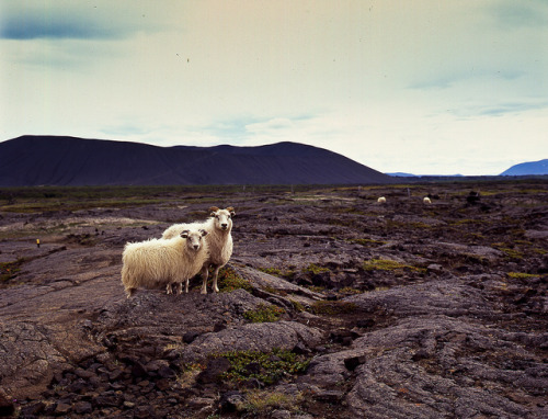 Rams by Hverfjell by alicethewhale on Flickr.
