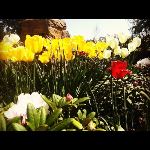 From Instagram - Spring and Tulips!!