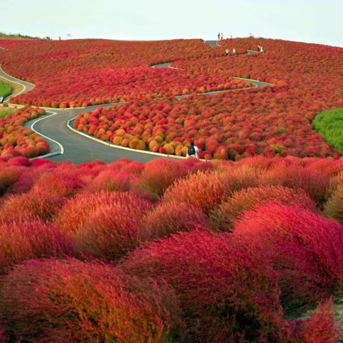 manchannel:  Hitachi Seaside Park - Japan.