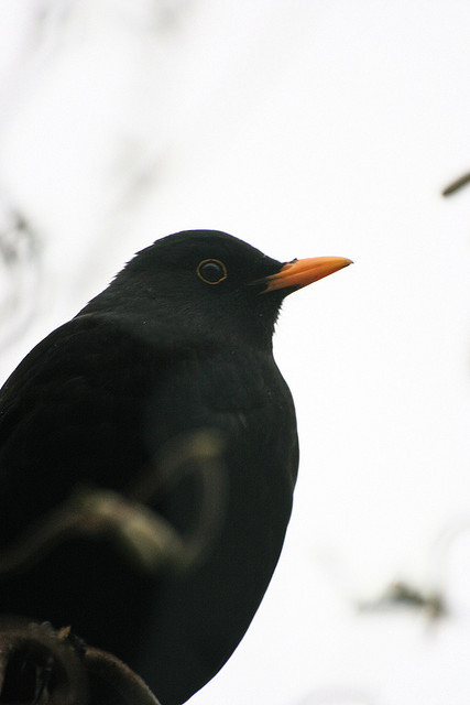 se-smith:  Blackbird by Laura Whitehead on Flickr. [Image: A blackbird.]