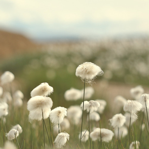 Cotton grass. (by Øystein E)