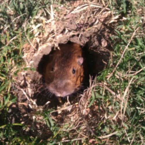 "Our gofer pet ""ferbs"" #work  (Taken with instagram)"