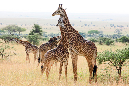 Giraffe Group on the Serengeti (by nhpanda (still trying to catch up….))