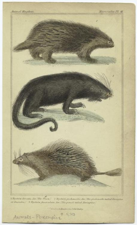 compendium-of-beasts:  The urson ; The prehensile tailed porcupine or couendou ; The pencil tailed porcupine. (1834-1837)  via NYPL