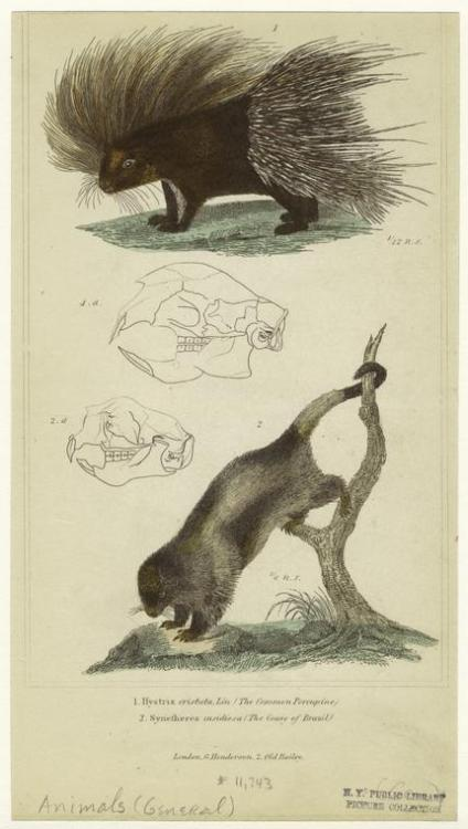 compendium-of-beasts:  Hystrix cristata, Lin. (the common porcupine) ; Synetheres insidiosa (the couiy of Brazil). (1834-1837)  via NYPL