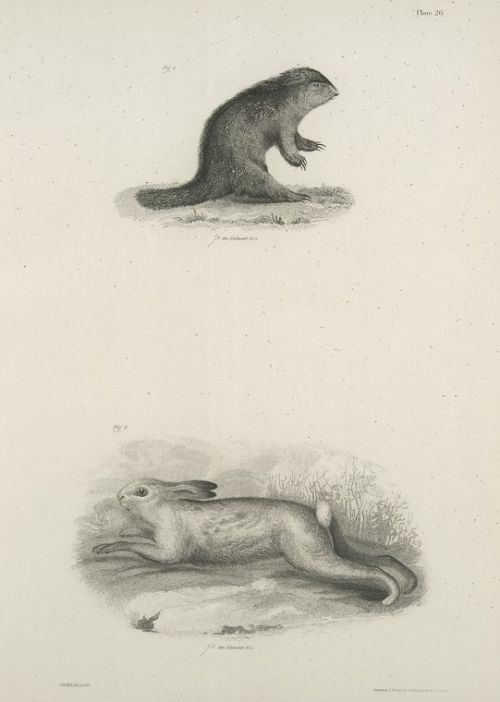 compendium-of-beasts:  1. The North American Porcupine (Hystrix hudsonius). 2. The Northern Hare (Lepus americanus). (1842-1844)  via NYPL