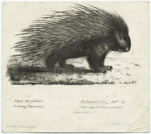 compendium-of-beasts:  [Porcupine.] (1837)  via NYPL