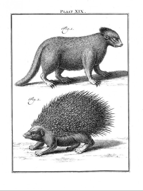compendium-of-beasts:  Porcupine and coendou via Vintage Printable