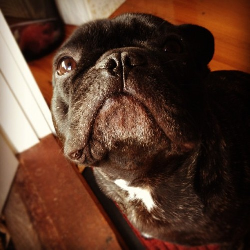 Booboo, you look like a little old man! 😚 #frenchbulldog (Taken with instagram)