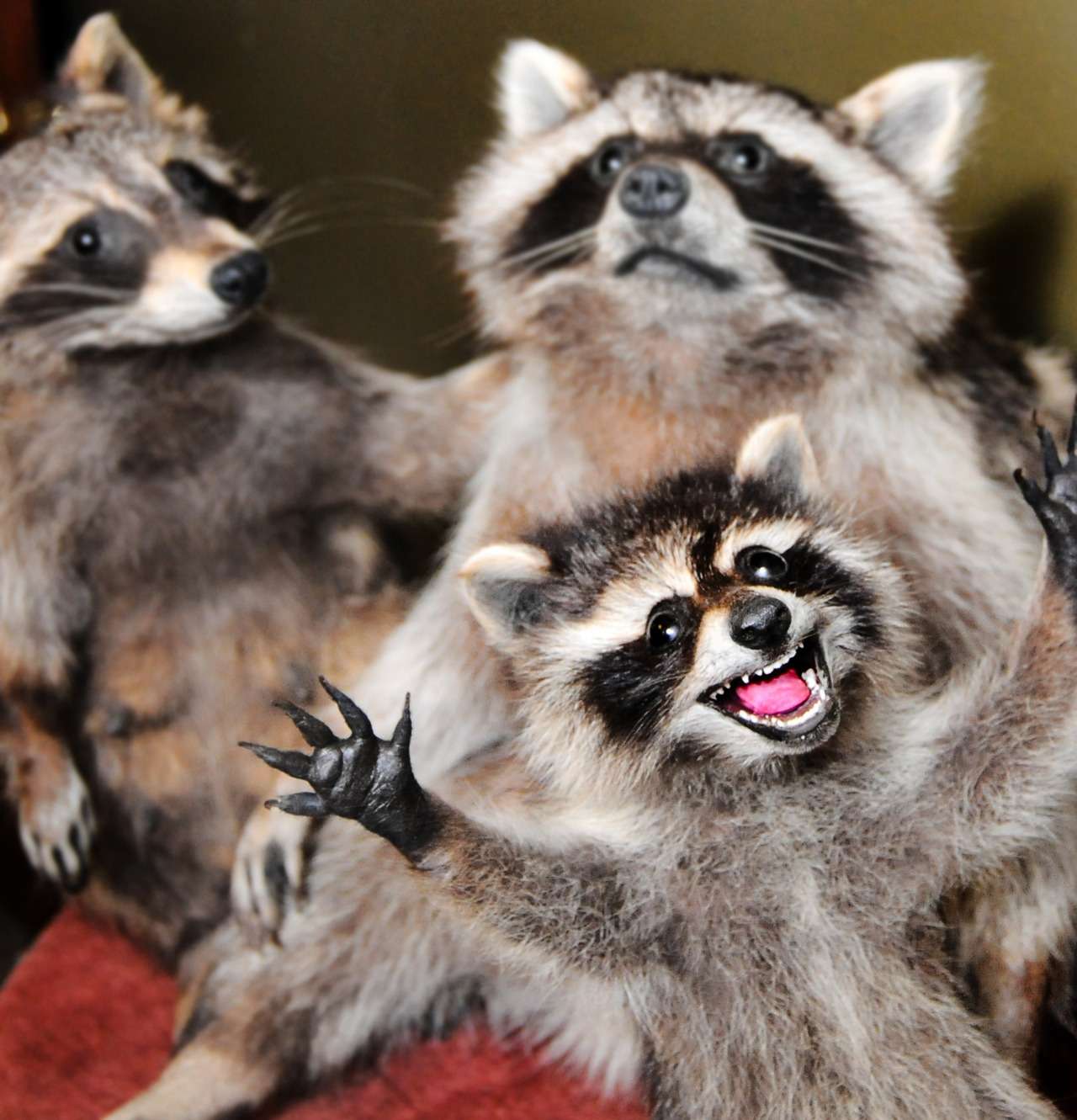 crappytaxidermy:  A little family portrait of raccoons. Its hard to keep the little ones still for too long…