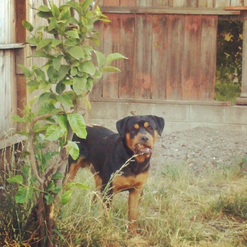Evening in #Oakland. #Rottweiler #Dog #California  (Taken with instagram)