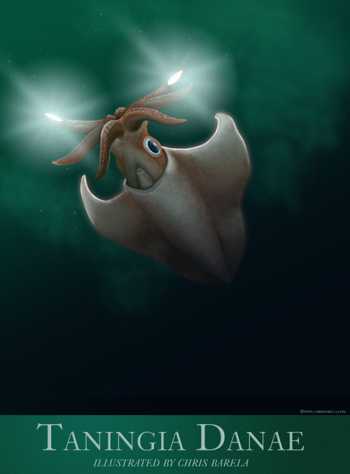 An illustration of Dana Octopus Squid, Taningia danae. The species is one of the larger bioluminescent squids, reaching up to 2.3 m in total length. It has been observed to emit blinding flashes of light from a pair of photophores on its arms in order to disorientate its prey. Art by Chris Barela.