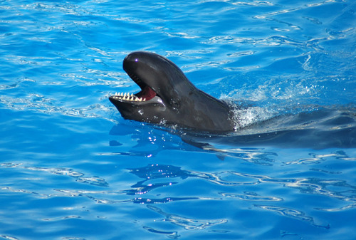 Sea World's Last Surviving False Killer Whale Dies This makes me immensely sad.  They had always been my favorite part of all the shows they've put on in the Whale and Dolphin Stadium.  I never knew that the population they had was dying out, and now the last—18 year old Jozu—passed away yesterday afternoon. Apparently, SW Orlando had the only North American display of false killer whales.  It makes me wonder if they'll bring in a new species (such as pilot whales, which they have at their other parks) to co-star with the dolphins, or just leave it with dolphins.  If they do bring in a new species, I hope it'll be from one of the other parks and not from the wild.  I want to say SW doesn't do wild capture anymore, but I could be wrong (I hope I'm not).  Personally, I hope they do transfer some of their other animals, because having the 2 species really added fascination and dimension to all of their shows.