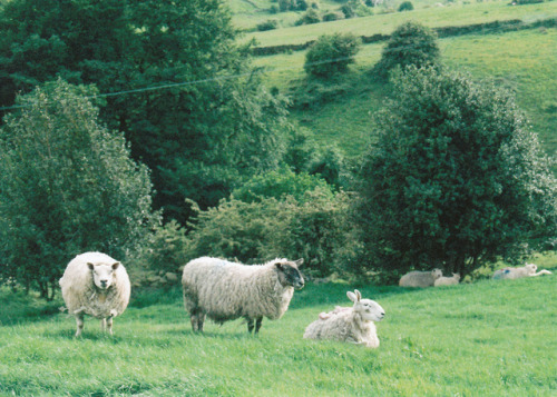 geniusofthehole:  w4lrusss:  untitled by joecooke on Flickr.  Sheep are great