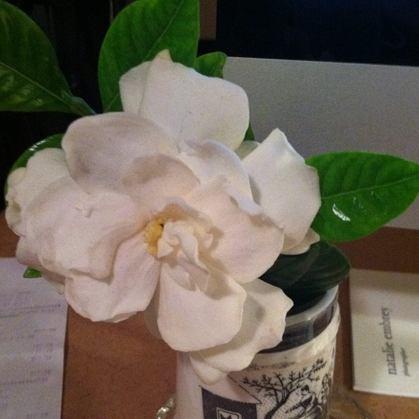 A lovely gardenia to brighten my desk from @ophelia (Taken with instagram)