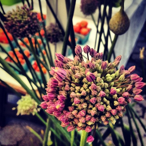lovagemetender:  Garlic flowers from Bodhitree Farm @unsqgreenmarket (Taken with Instagram at Union Square Greenmarket)  Its the koosh ball flowers that i used to draw!!!