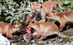 Four fox cubs digging into the remains of a large fish in Dublin, Ireland. by Paul David Hughes / Barcroft Media