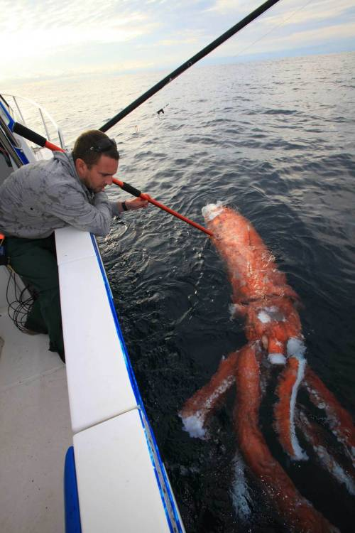 "thedailyfeed:  Whoa. The remains of a giant squid — a creature rarely seen by humans — turned up in Australia. Scientists believe it died battling a sperm whale.   Very little is known about giant squids, massive creatures that live thousands of feet below the ocean surface and can sometimes grow to nearly 60 feet in length. Japanese researchers only captured the first images of a live giant squid in 2004. Clyde Roper, a Smithsonian zoologist and squid expert, says the creatures can be found in all the world's oceans. And as for what the carnivores eat? ""Anything they want,"" Roper tells The Daily."