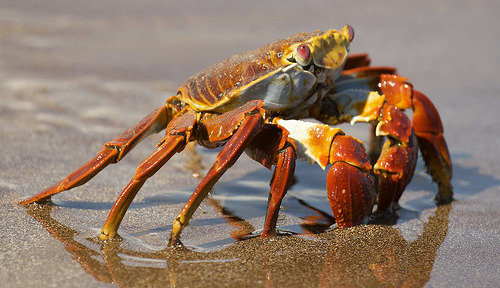 "fyeah-seacreatures:  Sally Lightfoot Crab. (BRJ INC) The crab Grapsus grapsus is one of the most common crabs along the western coast of the Americas. It is known variously as ""red rock crab"", ""abuete negro"", and, together with other crabs such as Percnon gibbesi, as ""Sally Lightfoot"". It is found along the Pacific coast of Mexico, Central America, South America (as far south as northern Peru), and nearby islands. It is one of the many charismatic species that inhabit the Galápagos Islands, and is often seen in photos of the archipelago, sometimes sharing the seaside rocks with the marine iguanas (Amblyrhynchus cristatus)."