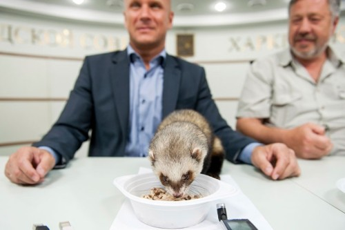 A ferret has been dining with deputy mayor of Kharkiv Alexander Popov and zoo director Alexei Grigoryev to discuss tactics. Maybe.Picture: REUTERS/Dmitry Neymyrok