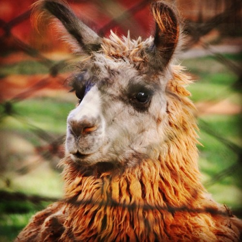 #zoo #lhama #llama #animal #cute (Publicado com Instagram, no Zoológico)