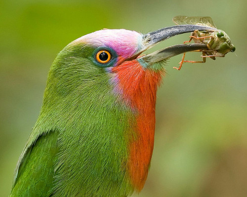 Red-bearded Bee-eater (male) - Nyctyornis amictus with cicada Cryptotympana aquila (female) by Michael Gillam on Flickr.