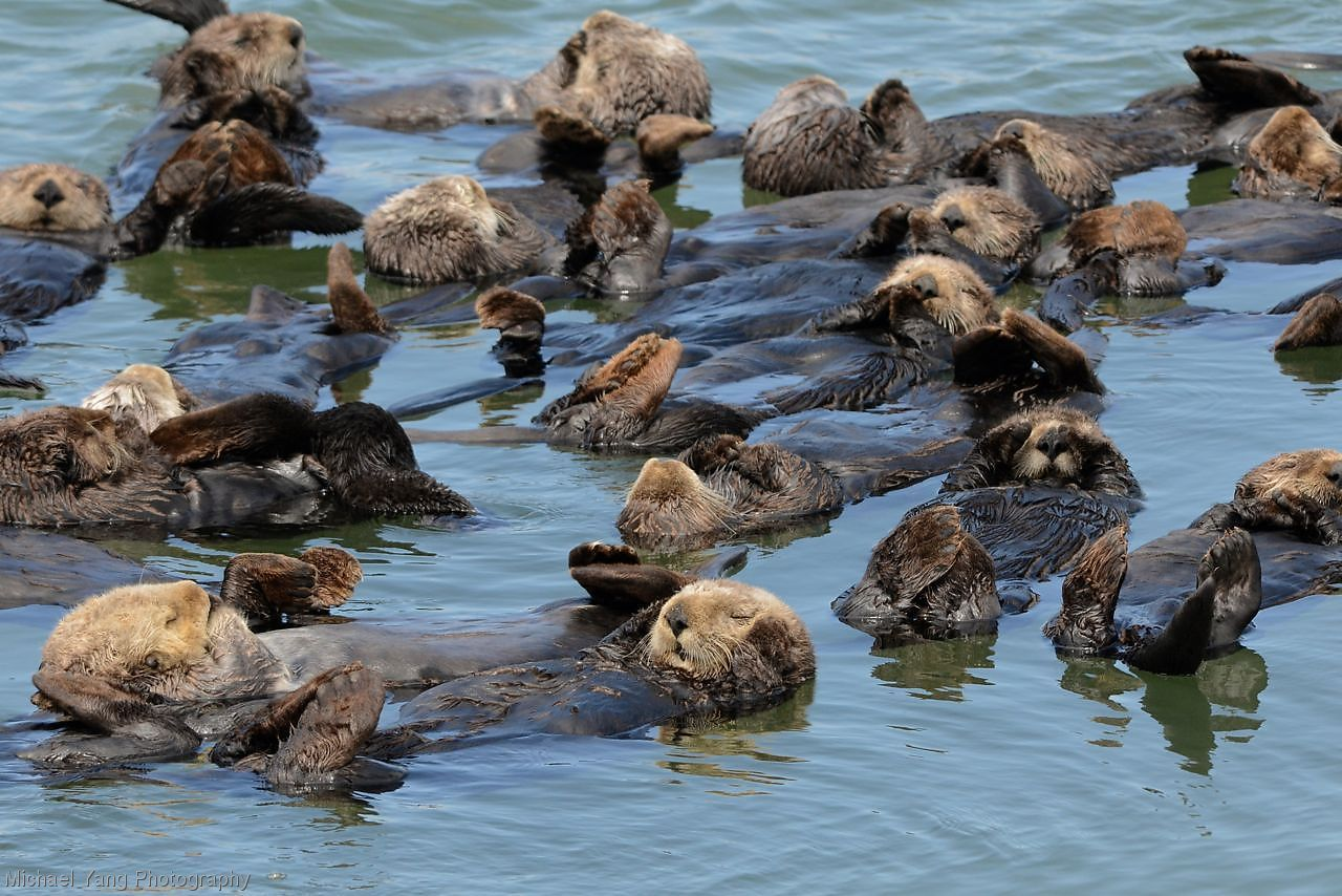 Michael Yang Photography Sea otters napping in the afternoon