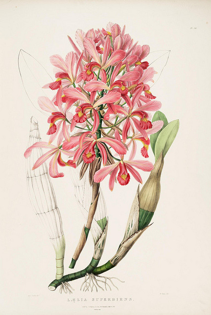 dendroica:  Laelia superbiens by BioDivLibrary on Flickr. The Orchidaceae of Mexico and Guatemala.. London :Ridgway,[1837-1843].biodiversitylibrary.org/page/769239