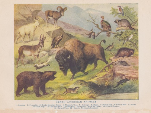 North American Animals.