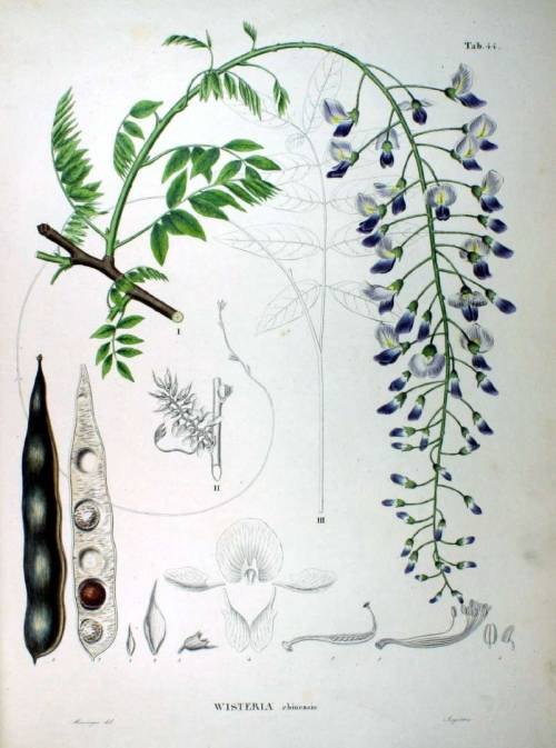 scientificillustration:  Wisteria chinensis From: Siebold, P.F. de, Zuccarini, J.G., Flora Japonica, vol. 4: t. 44 (1875)