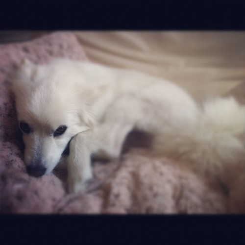😍#irresistible #americaneskimo #puppy  (Taken with instagram)