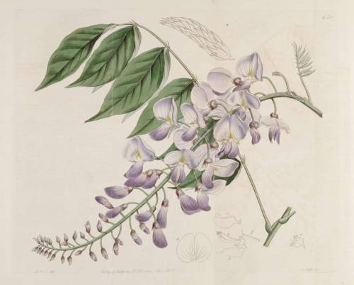 scientificillustration:  Wisteria sinensis (Sims) Sweet [as Glycine sinensis Sims] From: Botanical Register, vol. 8: t. 650 (1822)
