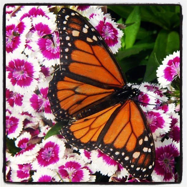 #monarch #butterfly (Taken with instagram)