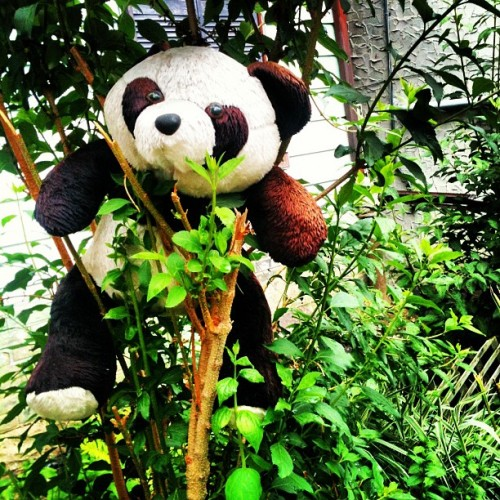 Panda's aren't a bear (Taken with instagram)