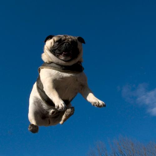 Pug In The Sky With Diamonds Photo via SatansMothers