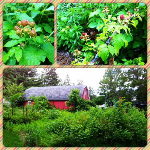 Don't you wish your backyard was lush like mine?  RASPBERRIES YOU ARE ALMOST IN MY MOUTH.