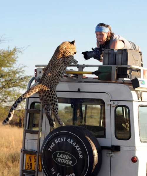 "lickystickypickywe:  A leopard leaps onto a Land Rover for his big close up. Sergey Kotelnikov was shocked when this overly camera-friendly young leopard jumped onto the roof of his vehicle in Namibia, close to the border with Botswana.  Sergey Ivanov, who snapped the photo from an adjacent vehicle, said: ""My friend was scared. I was frightened, too, even though I was on the roof of the other car, as you expect it to begin attacking. But we soon relaxed when we realised that this big kitten was just playing."""