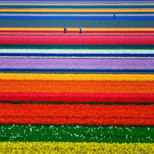 Inspiration of the day: stripes! This is actually a field of flowers in Holland. Isn't it gorgeous?! Take anything you love and turn it into your decor inspiration today.