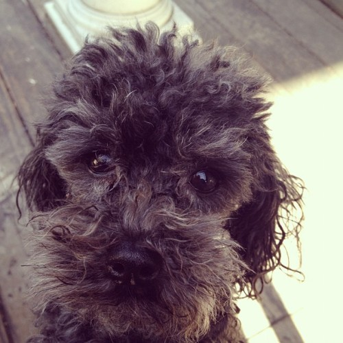 Cash the Wonderpoodle after a bath.  (Taken with instagram)