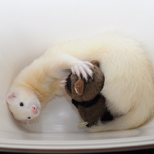 thefluffingtonpost:  PHOTO OP: Ferret Cuddles Via @makin55.