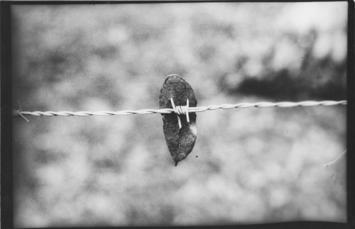 Black & White hand developed print. Was pretty cool to find this leaf snagged on a piece of barbed wire.