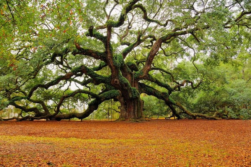 1500 year old 'Angel Oak' in Charleston, South Carolina