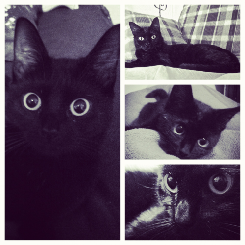 shakedownhippie:  Black Model Purfect  My girlfriends cat :) she took these photos