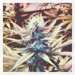 Dank Buds From 1977 #OG #stonervision  #arizona  (Taken with instagram)