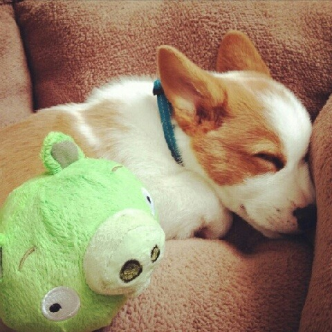 mikkeneko:  sleeping corgi from god knows where