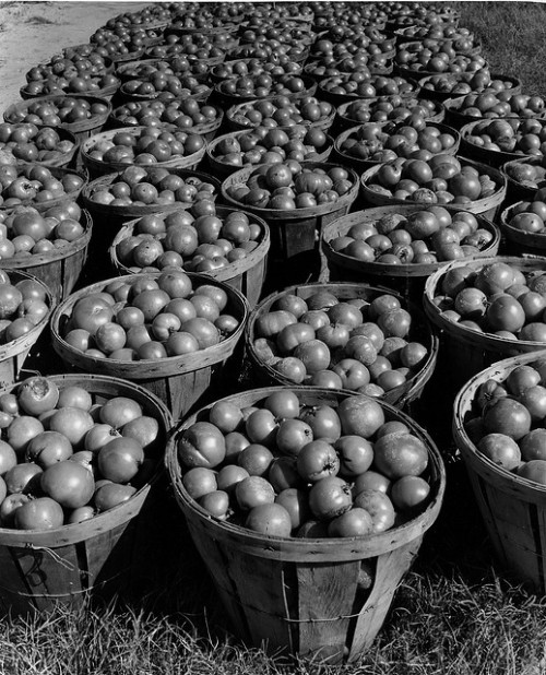 valscrapbook:  Fresh-picked tomatoes ready for canning by John Collier Jr. on Flickr.